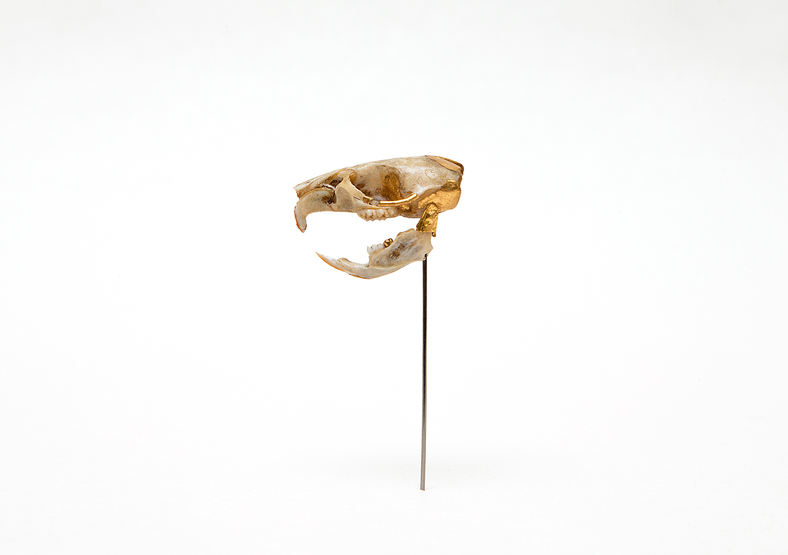 """""""This Rat Had a Good Health Insurance""""     